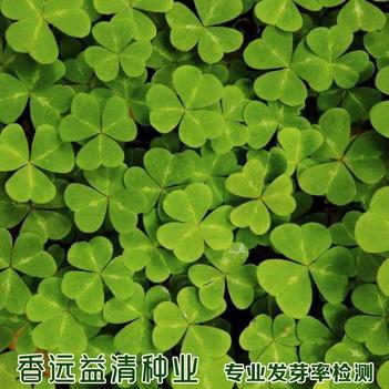 三叶草种子  白三叶种子红三叶种子草坪种子绿肥种子包邮批发
