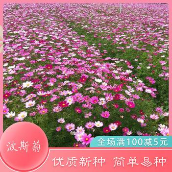 波斯菊种子波斯菊新种子格桑花种子圆林绿化专用花种子野花种子