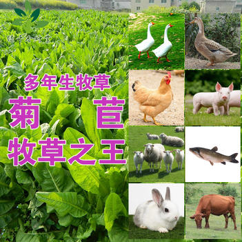 菊苣种子大叶菊苣种子菊苣新种子包邮多年生牧草种子