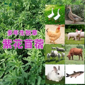 苜蓿草种子紫花苜蓿种子大叶紫花苜蓿新种子
