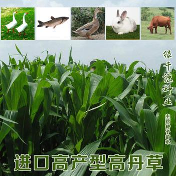 高丹草新种子牧草型高丹草种子包邮鹅鱼鸭兔牛羊都爱吃