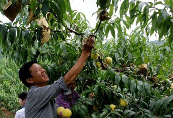 炎陵黄桃正式开售 惠农网电商精准扶贫正在进行