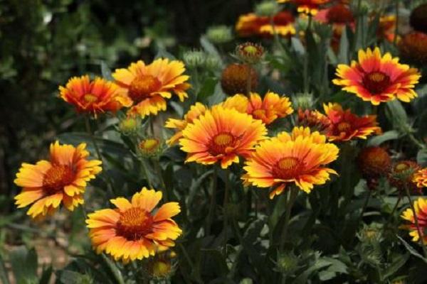 近日非洲菊的价格行情怎样?非洲菊的科属和花语是什么?