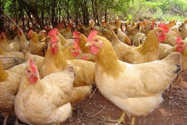 三黄鸡的养殖前景和养殖利润怎样?(附养殖技术)