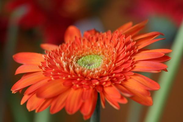 非洲菊的价格多少钱?种植非洲菊能致富么?