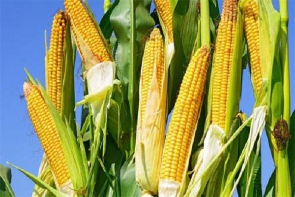 注意:11月份玉米行情可能有变!(附今日玉米价格)