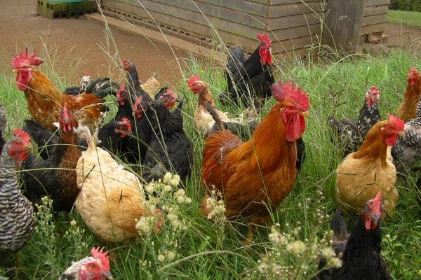 单纯用玉米喂鸡可以吗?玉米和什么搭配喂鸡好?