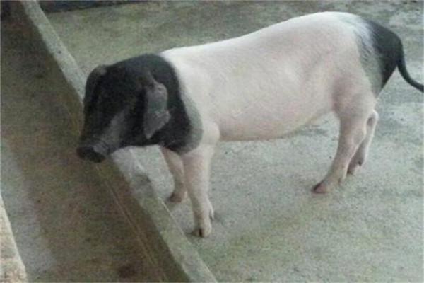 我国八大优良种猪介绍
