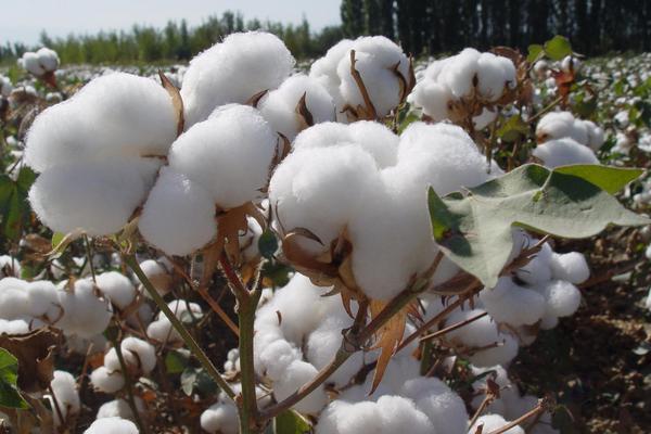 2020年农民怎样选购棉花品种?棉花种选购六大禁忌!