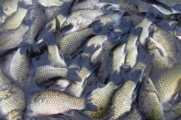野生鲫鱼与人工养殖鲫鱼有什么区别?吃鲫鱼有什么好处?