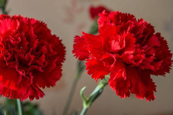 红色康乃馨花语,不同颜色的康乃馨花语有何区别?