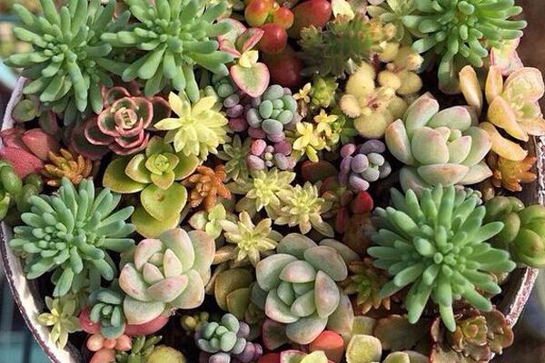 景天科植物是什么?有哪些生理特点?