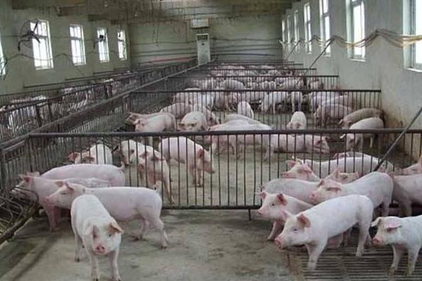 云南省腾冲再次爆发非洲猪瘟,国家为扩大生猪供给的五大措施