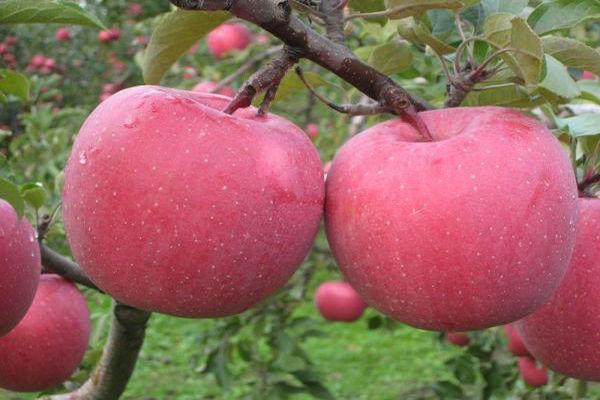 品质优良的苹果品种介绍