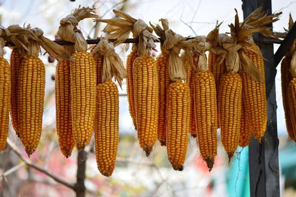2020年玉米价格多少钱一斤?能涨到1.2元/斤吗?