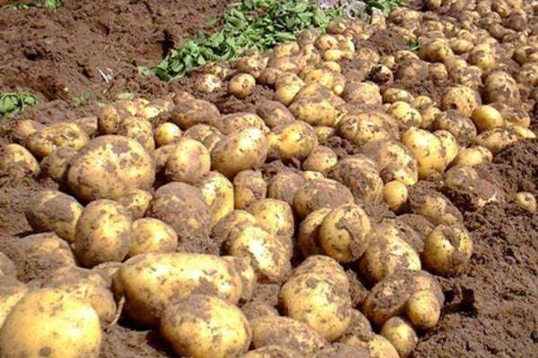 马铃薯品种选择