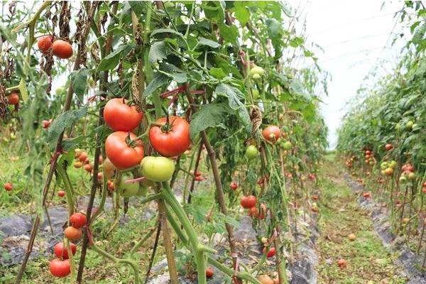 番茄新品种及其生长特性介绍