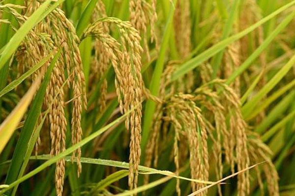 2020年全国水稻价格行情预测