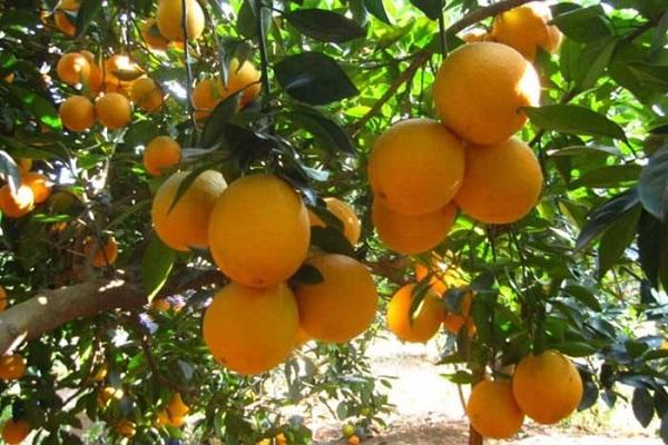 助力崀山脐橙产销对接 惠农网开启新宁农品上行新章程