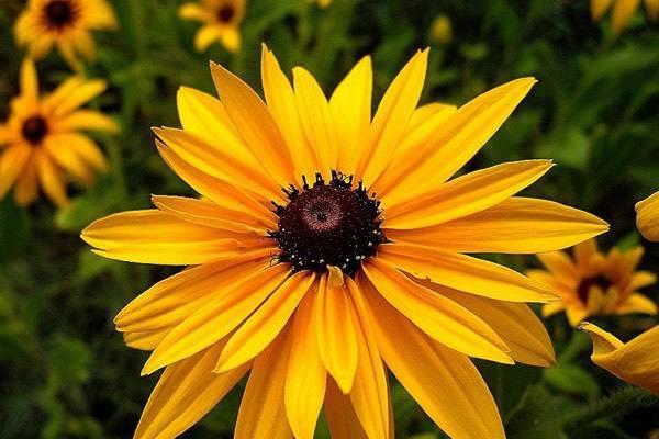 非洲菊的花语和含义,非洲菊叫扶郎花的原因