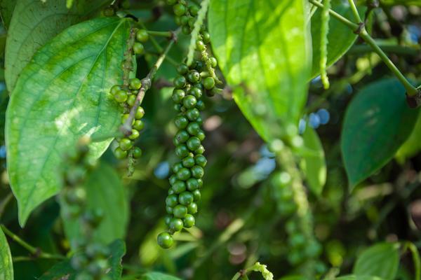 胡椒价格多少钱一斤?胡椒种植前景及利润分析