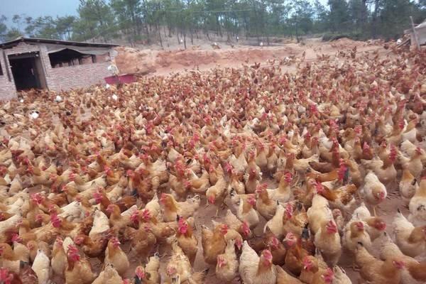 2020年农村养什么鸡最赚钱?这几种鸡市场需求大利润高!