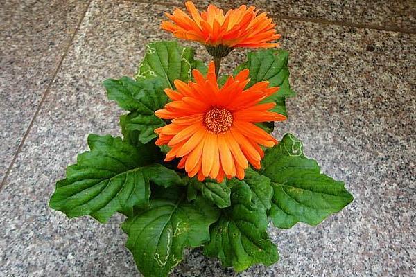 2020非洲菊种植赚钱吗?大学生带领乡亲们走好种花致富路