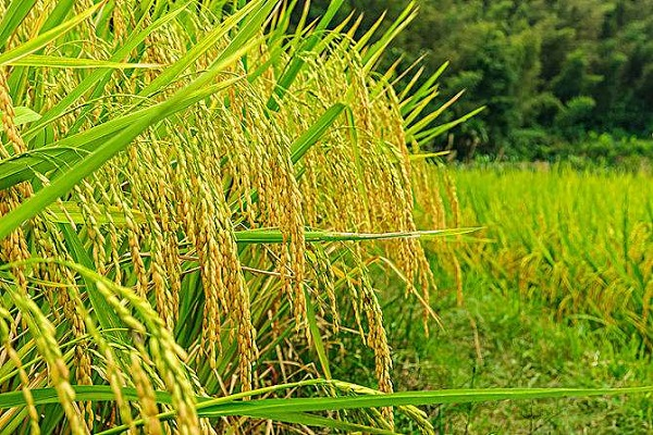 """双季稻亩产1365公斤创新高!水稻高产需""""良种良法""""配套"""
