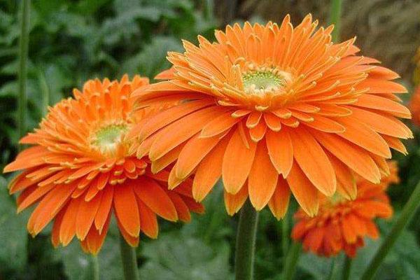 橙色的非洲菊的花语是什么?非洲菊花语介绍