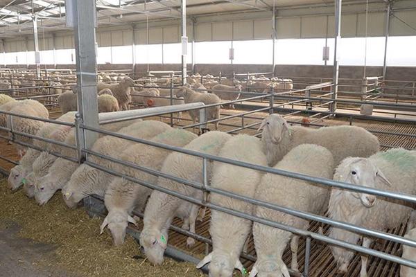 养羊200头以上补贴多少?2020农村养羊补贴最新政策