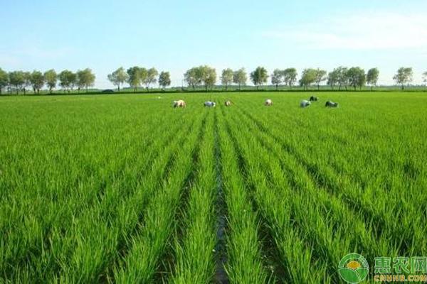 绿色大米是怎么回事?绿色大米是怎么生产出来的?