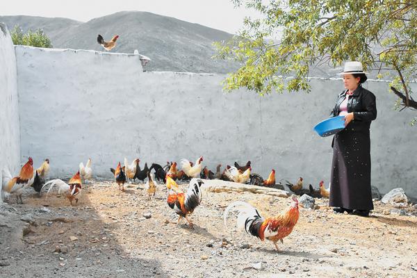 藏鸡多少钱一只?养殖前景如何?(附养殖技术)