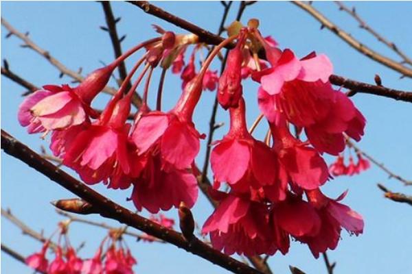 我国常见栽培的樱花品种介绍