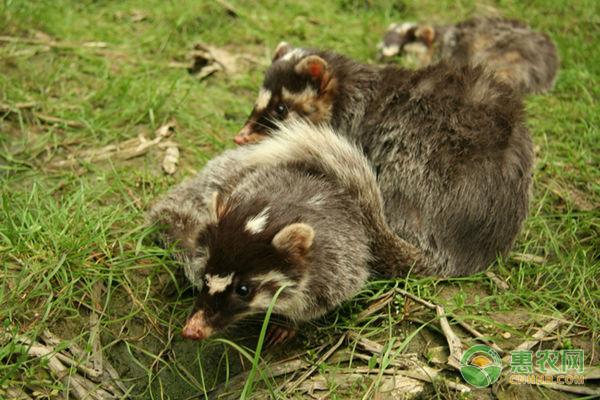 野生白面狸多少钱一斤?是国家保护动物吗?(附养殖手续)