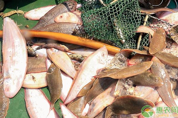 龙利鱼市场价格多少钱一斤?龙利鱼跟巴沙鱼的区别