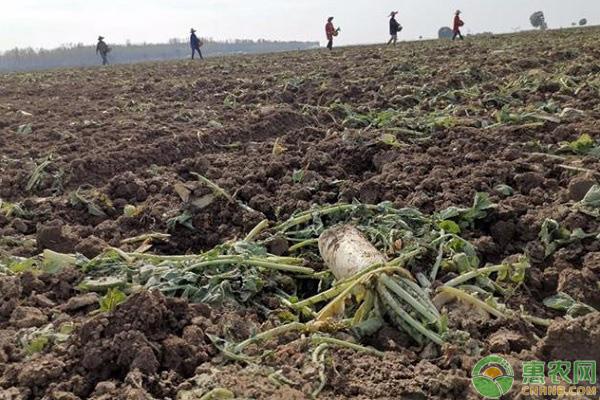 200亩萝卜被拔光的背后原因是什么?原来是网传谣言惹得祸!网络和农产品如何共存?