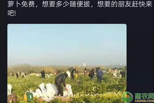 200亩萝卜被拔光,菜农损失40万竟无从追究,网上谣言真可怕!
