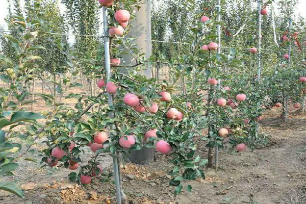 种植苹果的前景怎么样?种植成本及种植收益如何?