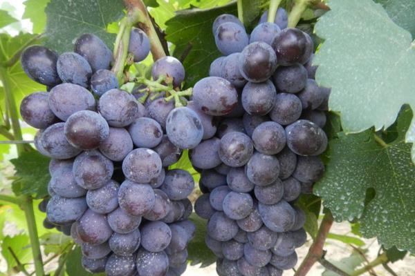 值得种植的优质葡萄品种