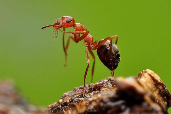 """揭秘丨蚂蚁为啥""""牙黑""""?可能是它们""""糖""""吃多了吧"""