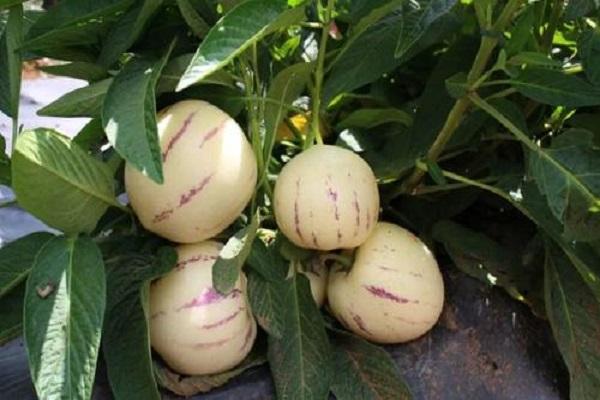 人参果里面的籽能吃吗?人参果的亩产收益如何?