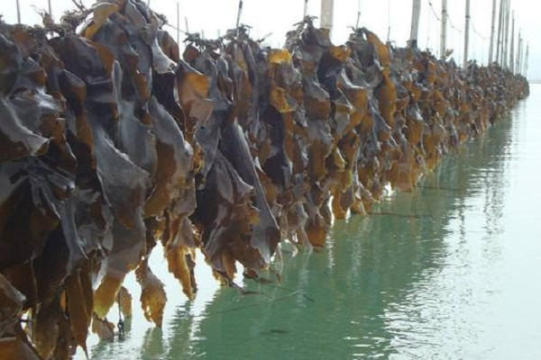 """哪里的海带最好吃?带你了解三大""""中国海带之乡""""!"""