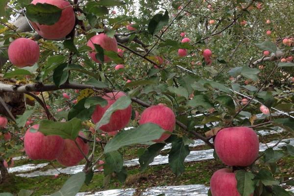 中国苹果之乡前十名,这里的苹果个个味美脆甜!