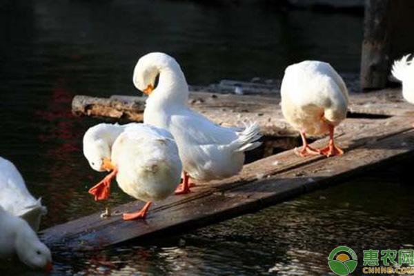 北京鸭能长多少斤?为什么可以长那么大?