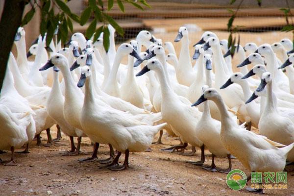 连城白鸭几个月下蛋?连城白鸭有什么营养价值?