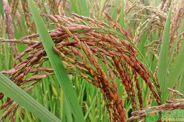 最贵的大米多少钱一斤?中国最贵大米排行榜