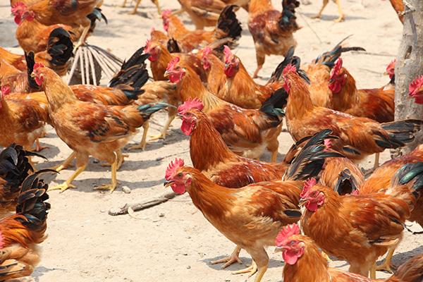 全国优良鸡品种介绍
