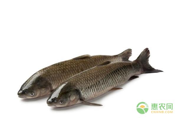 野生军鱼多少钱一斤?军鱼和草鱼有什么区别?
