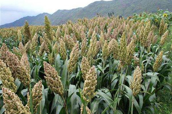 2020年农村种植什么不愁销路?这三种农作物不仅好养且产量高!