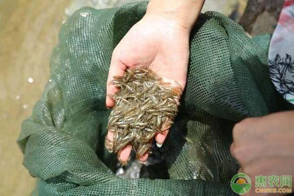 麦鱼市场价多少钱一斤?麦鱼的主要产地在哪?